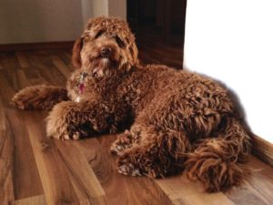 Earth Angels Labradoodles Calgary Puppies For Sale