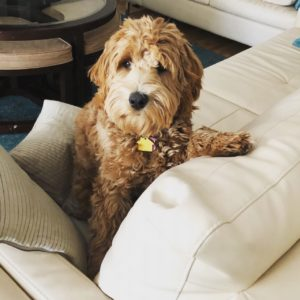 Our Labradoodle Breeding Dogs   Earth Angels Labradoodles